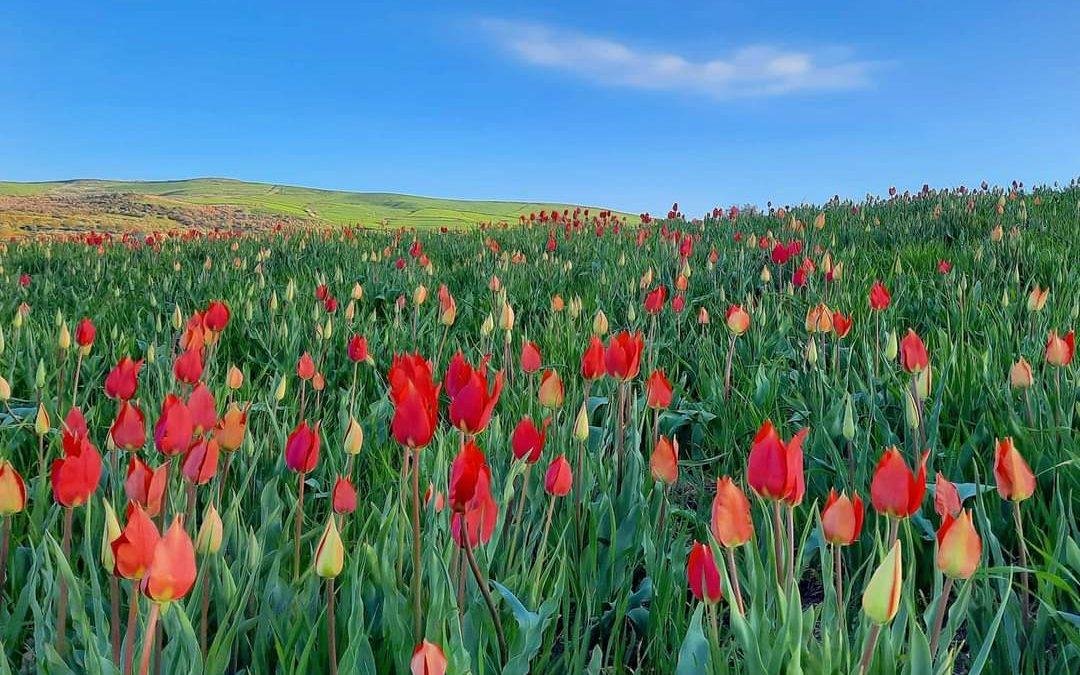A Blufi nelle Madonie lo spettacolo dei tulipani